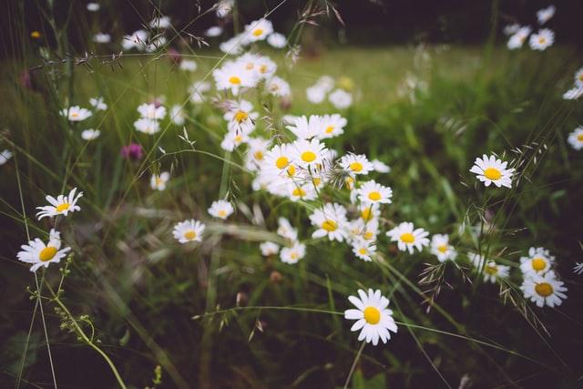 Kesäinen kukkaketo, jossa etualalla valkoisia päivänkakkaroita.