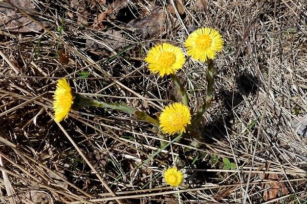 Keväisen harmaasta maasta nousee ylös kirkkaankeltaisia leskenlehtiä.